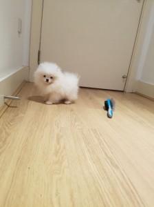 mandlige Pomeranian hvalp