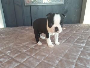 Kvindelige Fransk Bulldog hvalp til salg