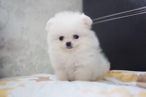 Kvindelige Pomeranian hvalp til salg